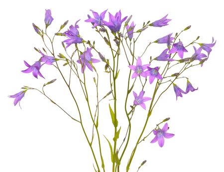 Campanula flowers isolated on a white background Stock Photo