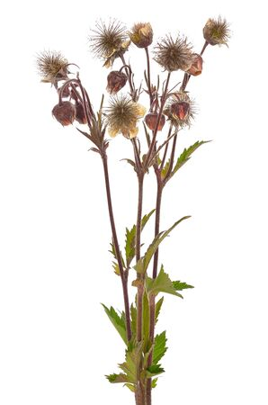 Geum rivale flowers isolated on white background