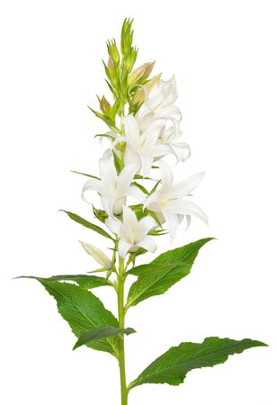Campanula latifolia, giant bellflower flower isolated on white background Stock Photo