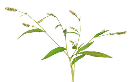 Persicaria maculosa (Polygonum persicaria) flowers isolated on white background