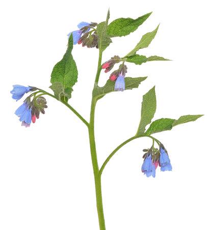 Comfrey (Symphytum) flower isolated on white background