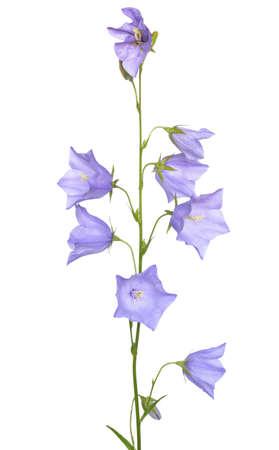 Campanula persicifolia flower isolated on white background