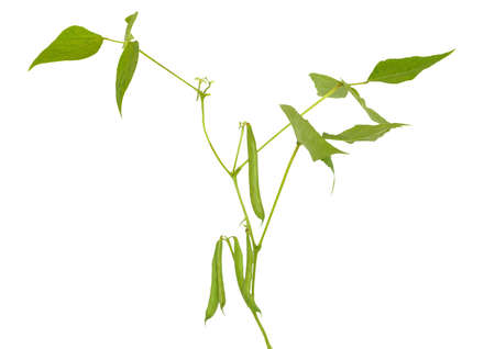 Branch of Phaseolus vulgaris, pod with leaves isolated on white background