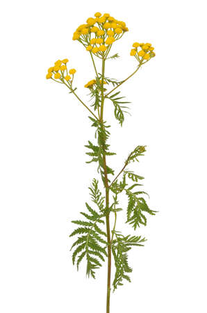 Tansy (Tanacetum Vulgare) flowers isolated on white background 스톡 콘텐츠