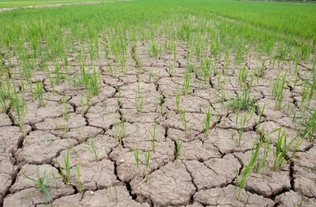rice field cracked land