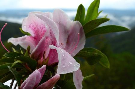 lilia: lilia