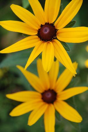 brown  eyed: Brown Eyed Susan Flower