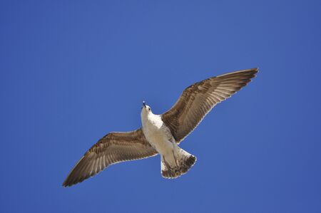 sea bird: sea bird seagull flying up on a background of blue sky Stock Photo
