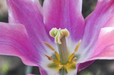 the stamens: A full-blown tulip with pistil and stamens close-up