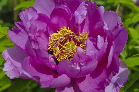 yellow stamens: Beautiful bright pink peony with yellow stamens on the background of green leaves Stock Photo