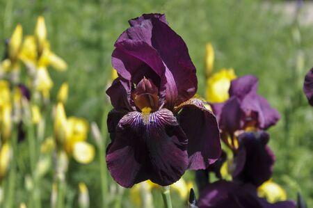 purple irises: Flowerbed of purple irises in a garden, macro