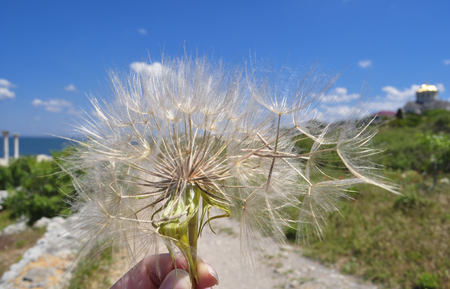 blown away: Dandelion in a hand blown away by the wind on a blurred background landscape