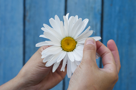 divination: Large white daisy for divination in human hand on blue background Stock Photo
