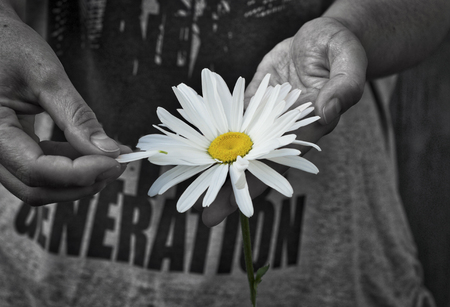 Daisy flower in human hands, black and white image with color chamomile