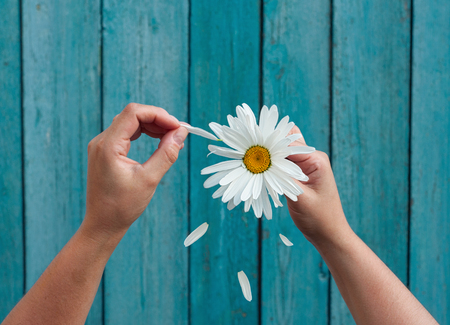 Two female hands hold in hand big white daisy petals and tear on the old blue wooden background, top view