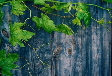 Young green grape vine on gray wooden surface, empty space