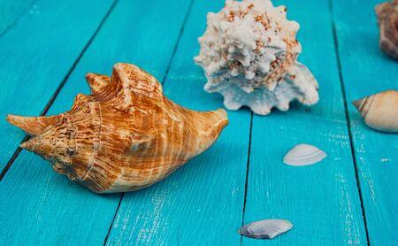noix saint jacques: Seashells on a blue wooden background, selective focus