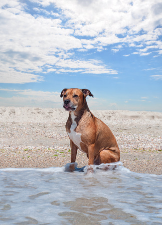 American pit bull terrier is sitting on the beach, summer sunny day Stock Photo