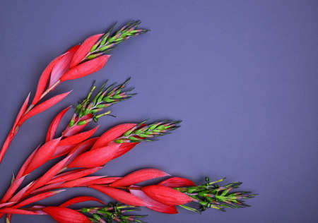 red Billbergia flower on a black background, empty space