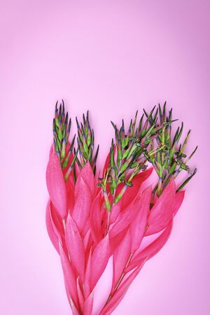 pink flower of Billbergia on a pink background