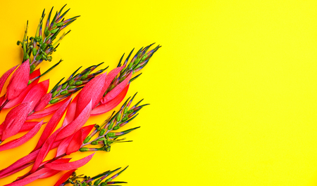 pink flower of Billbergia on a yellow background, close up, empty space Stock Photo