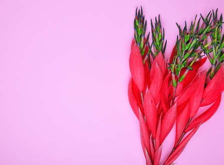 red flower of Billbergia on a pink background Stock Photo