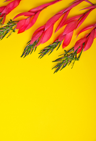 pink flower of Billbergia on a yellow background Stock Photo