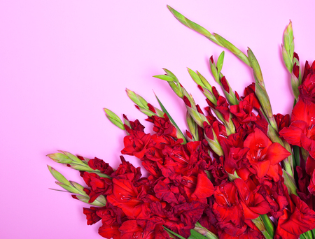 Bouquet of red gladiolus on a pink background