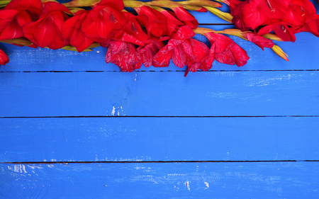 bouquet of blooming red gladioli on a blue wooden background, an empty space Stock Photo