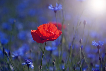 Red tulip in the middle of a field with blue cornflowers in the rays of the rising sun 版權商用圖片 - 83237120