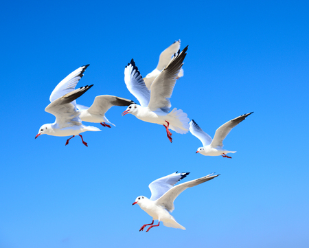 flock of white gulls floating in the air against a blue clear sky on a summer day