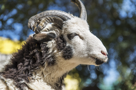portrait of a ram with horns on a summer day