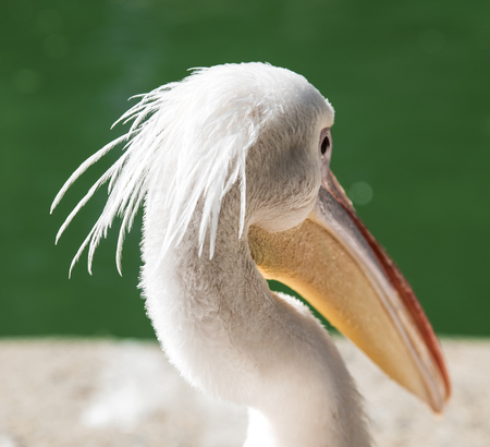 portrait of a white pelican on a pond on a summer day, close up