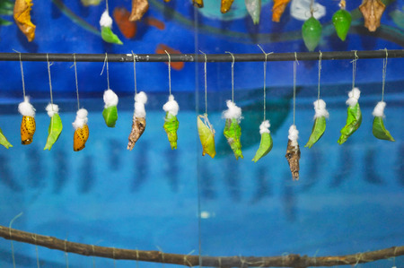 a variety of cocoons of butterflies hang on a stick Stock Photo