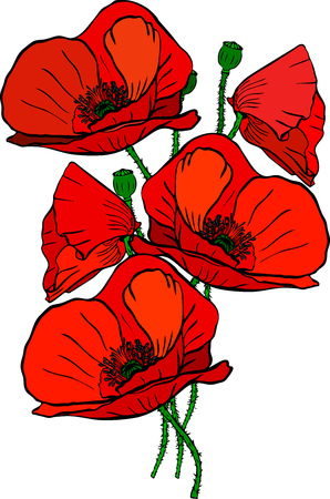 A hand drawn bouquet of five red blossoming poppies and green stems isolated on white background