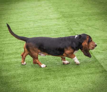 brown adult Basset Hound, dog walks along the green lawn