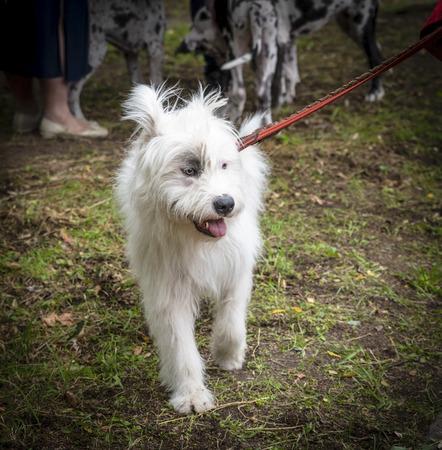 white dog half-breed Ardennes Bouvier, summer day 写真素材