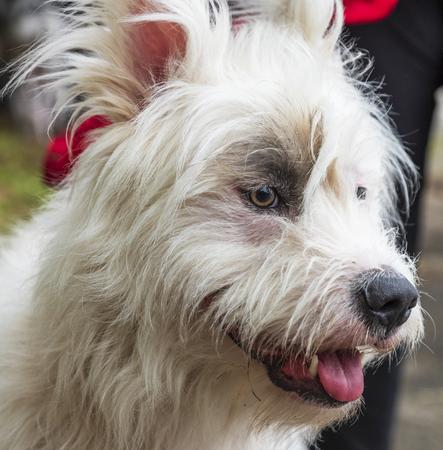 portrait white half-breed Ardennes Bouvier, close up 写真素材