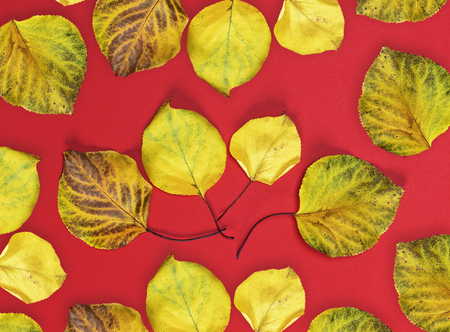 many yellow dry apricot leaves on a red background, close up