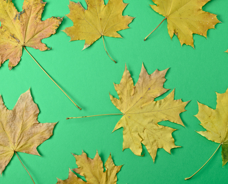 yellow dry maple leaves on a green background, close up