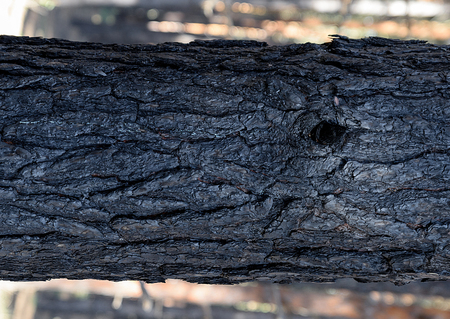 fragment of burnt pine trunk, close up