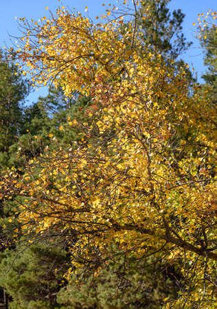 fragment of poplar tree with yellow leaves in summer sunny day, Ukraine Stock fotó