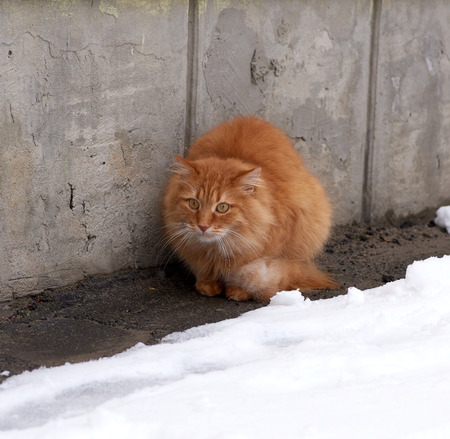 red fluffy cat sits and freezes in the middle of the snow on the street