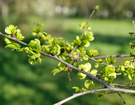 branch of European white elm, close up, spring day