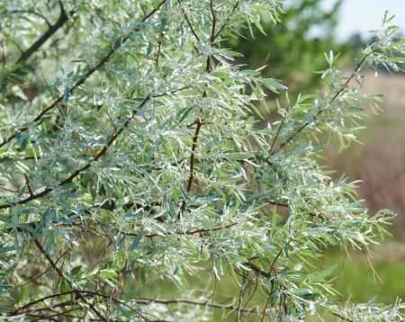 branch Loch silver Elaeagnus commutata woody or shrub plant, summer day Stockfoto - 123233381