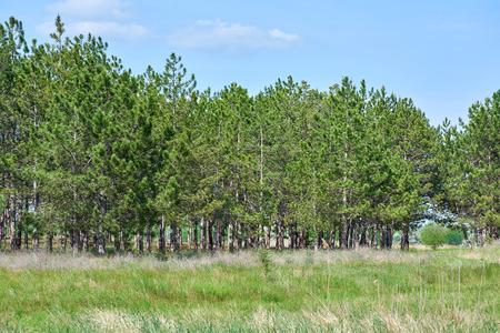 edge of the coniferous forest in the steppe zone of Ukraine, Kherson region, summer sunny day Stockfoto - 123233389