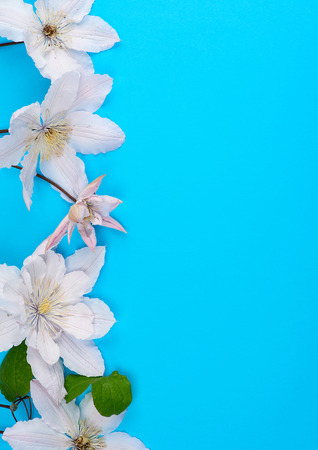 white flowers and green leaves of clematis on a blue background, top view, copy space