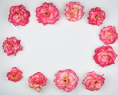 blooming buds of a pink rose are laid out rectangularly on a white background, top view, copy space Stockfoto