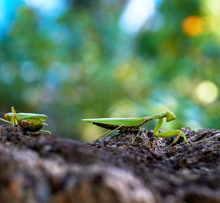 green mantis on a tree trunk, close up, day