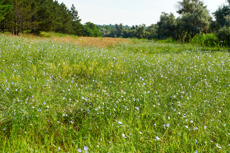 field with blue flax flowers, Ukrainian steppe, day